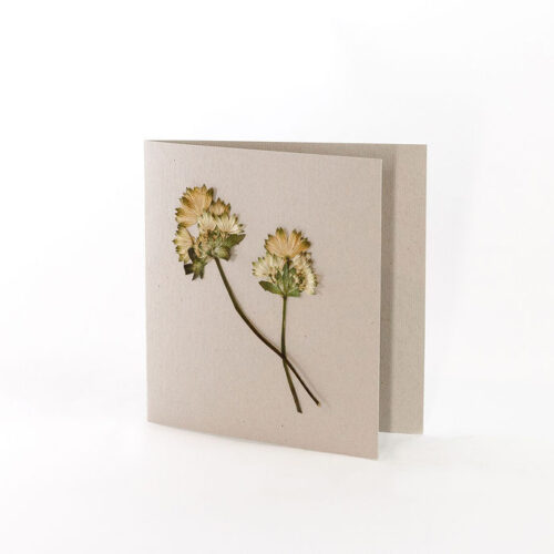 Natural Grey Card with pressed Astrantia Billion Star