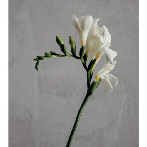 The Freesia - Pack of 3 note cards